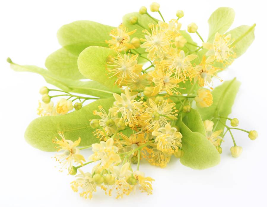 Tila natural en hojas la infusión que da calma